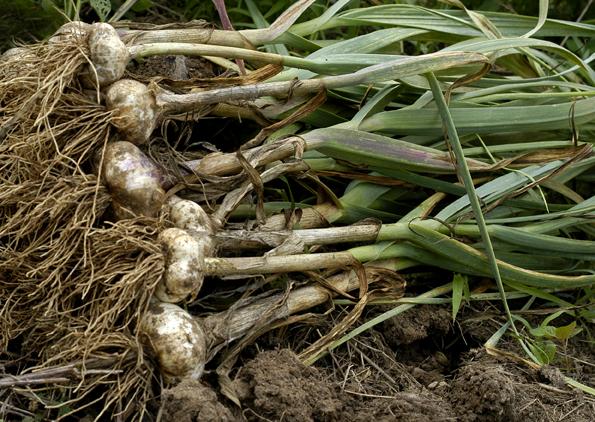 Harvested Garlic