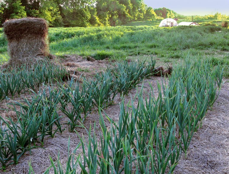 Growing Garlic From A Clove Southern Exposure Seed Exchange