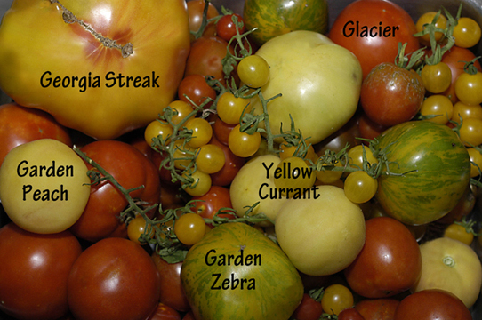Certified Organic Tomatoes
