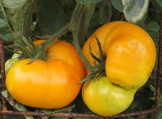 Tomato Varieties: Finding the Right Heirloom Tomato Seeds ...