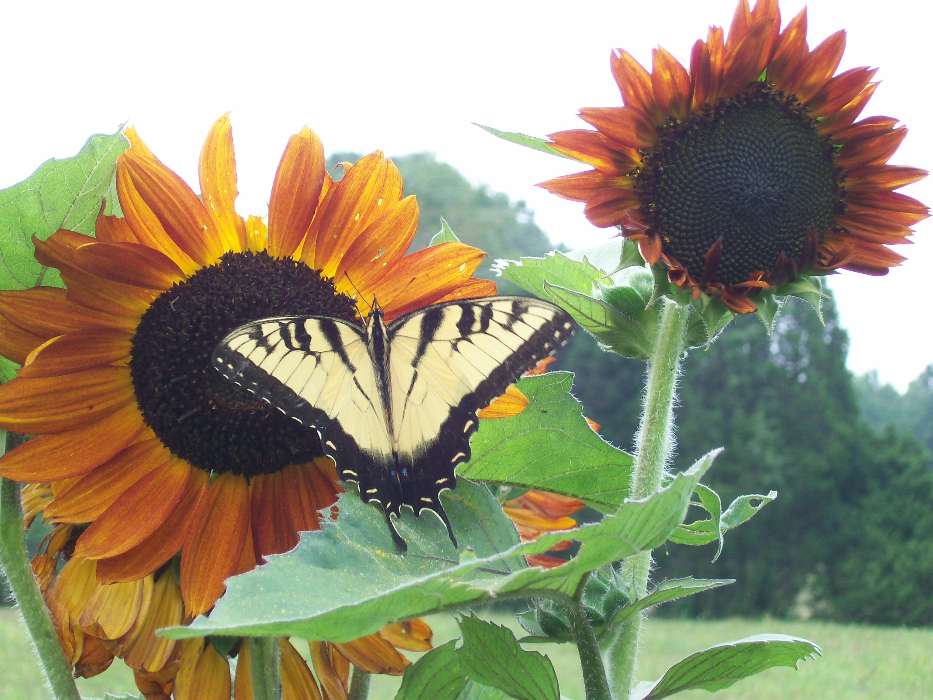 Sunflower Facts Southern Exposure Seed Exchange