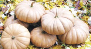Tan Cheese Pumpkins