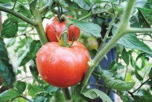 ozark pink tomato