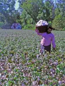Michael Twitty Hauling Cotton