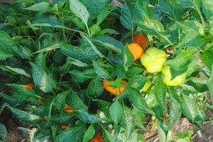 heirloom Pepper southern exposure seed organic growing tips