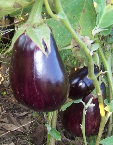 heirloom eggplant southern exposure seed organic growing tips