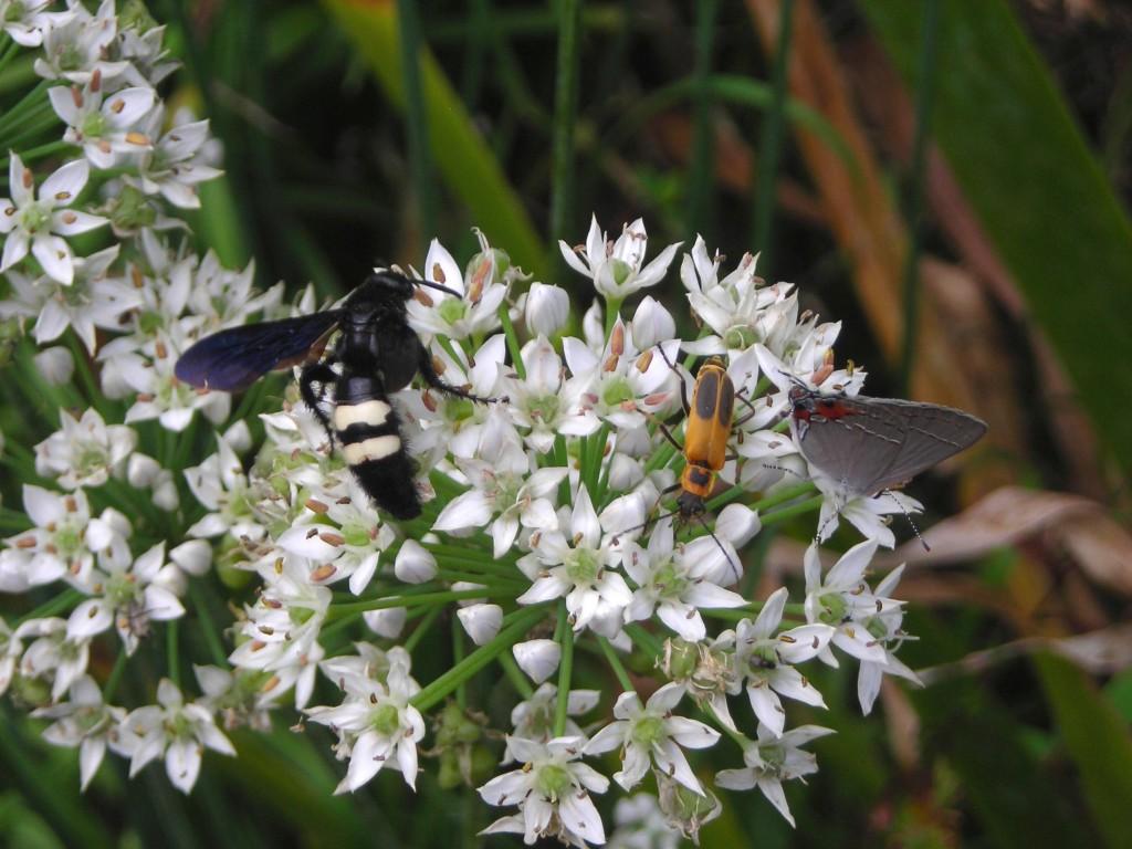 Fiesta de polinizadores con flores de cebollino ajo