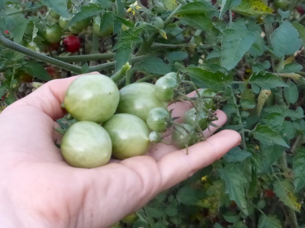 """Tomate verde fermentado """"aceitunas""""   Intercambio de semillas de exposición al sur"""