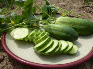 Attracting Bees for Great Cucumbers, Squash, and Melon