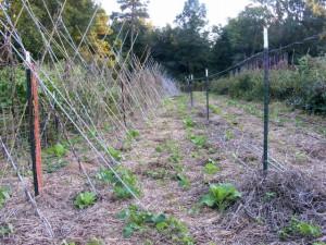 Rodger Winn usa trébol y heno para construir el suelo y sofocar las malas hierbas