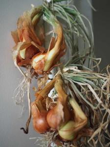 Almacenamiento de invierno: bulbos de ajo y cebolla perenne.