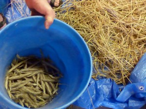 Jul2015 (306) Jake Holt demonstrates small scale rye threshing small