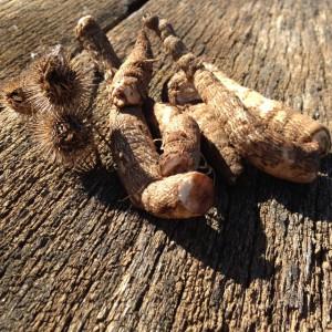 raíz de bardana y rebabas