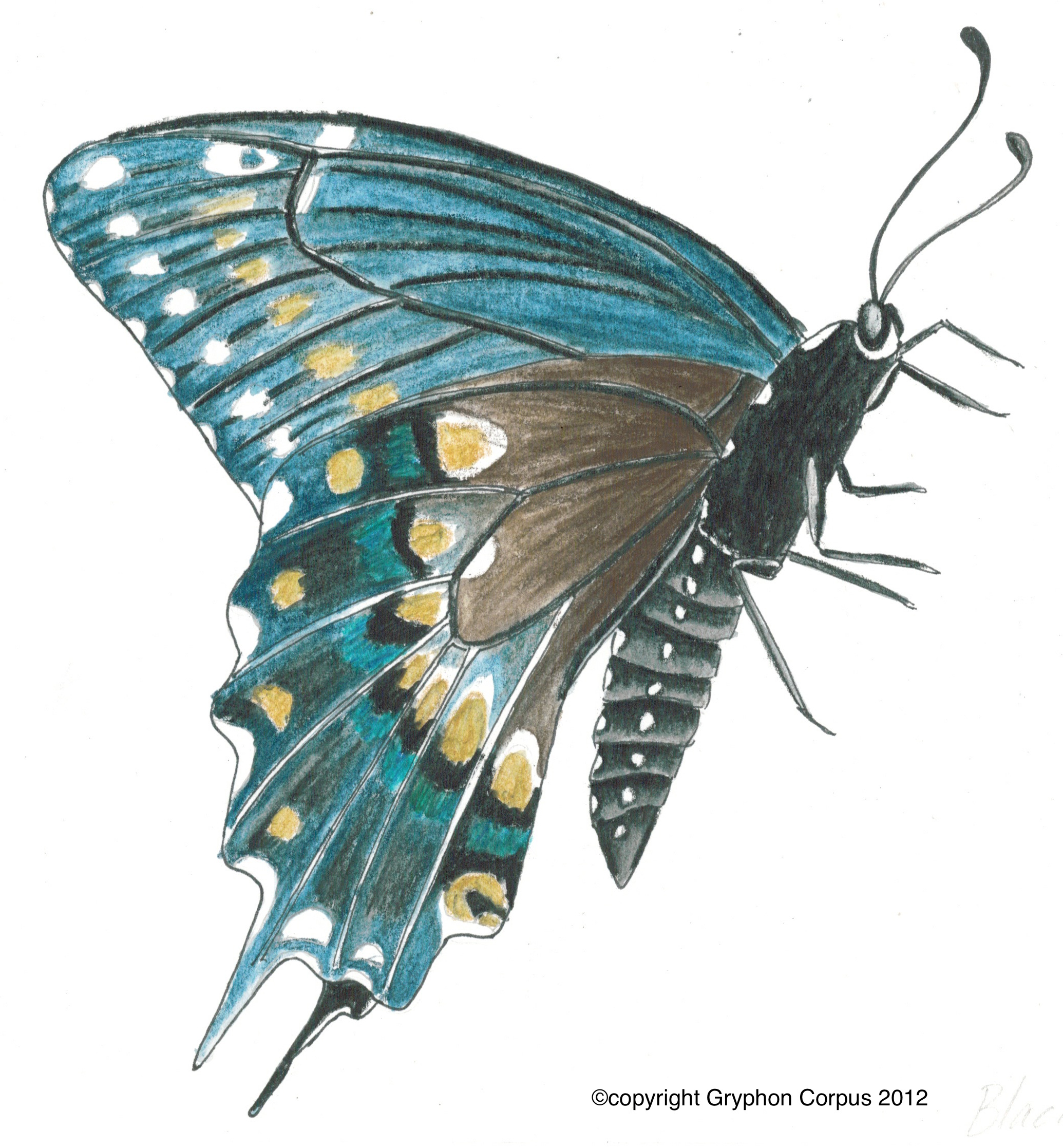 planting for pollinators black swallowtail butterfly southern