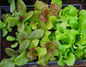 lettuce-seedlings