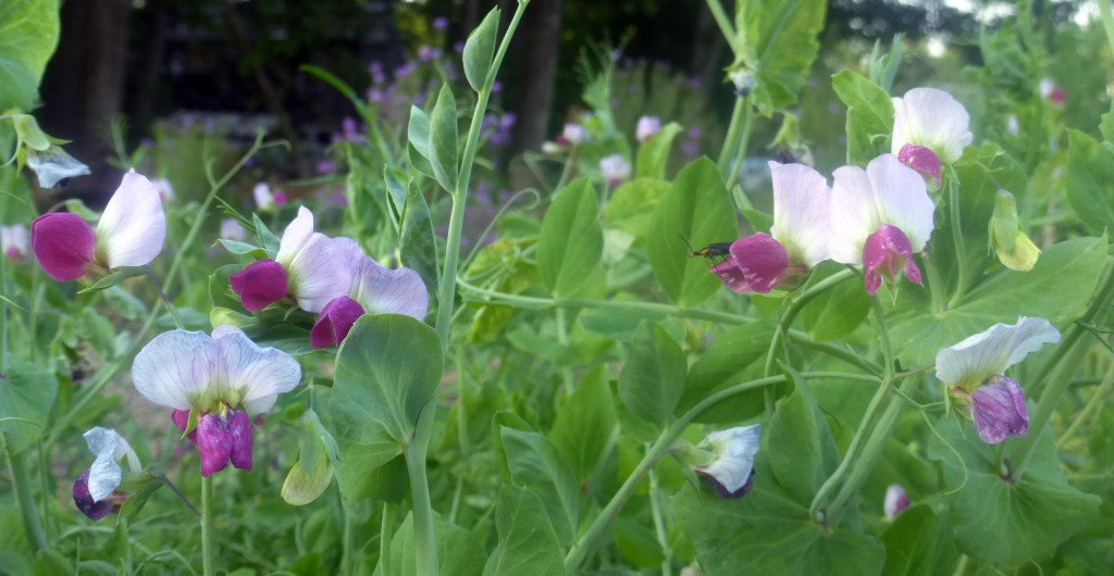May2016 (184) flowering Austrian Winter Peas prcsd