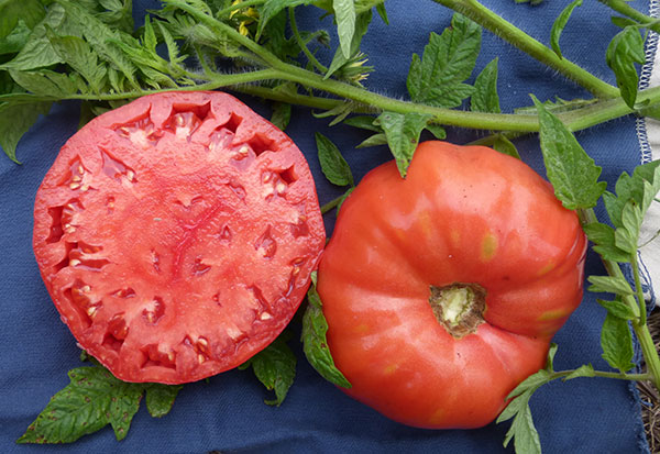 Radiador-Charlie's-Mortgage-Lifter-tomate-SESE-web