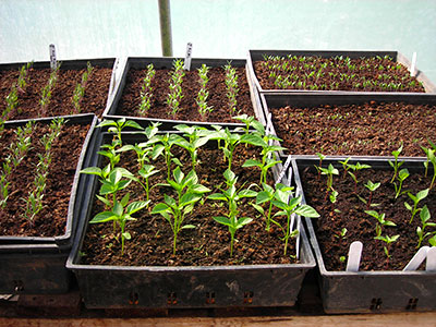 greenhouse-seedlings