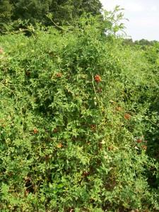tomate cherry silvestre SESE