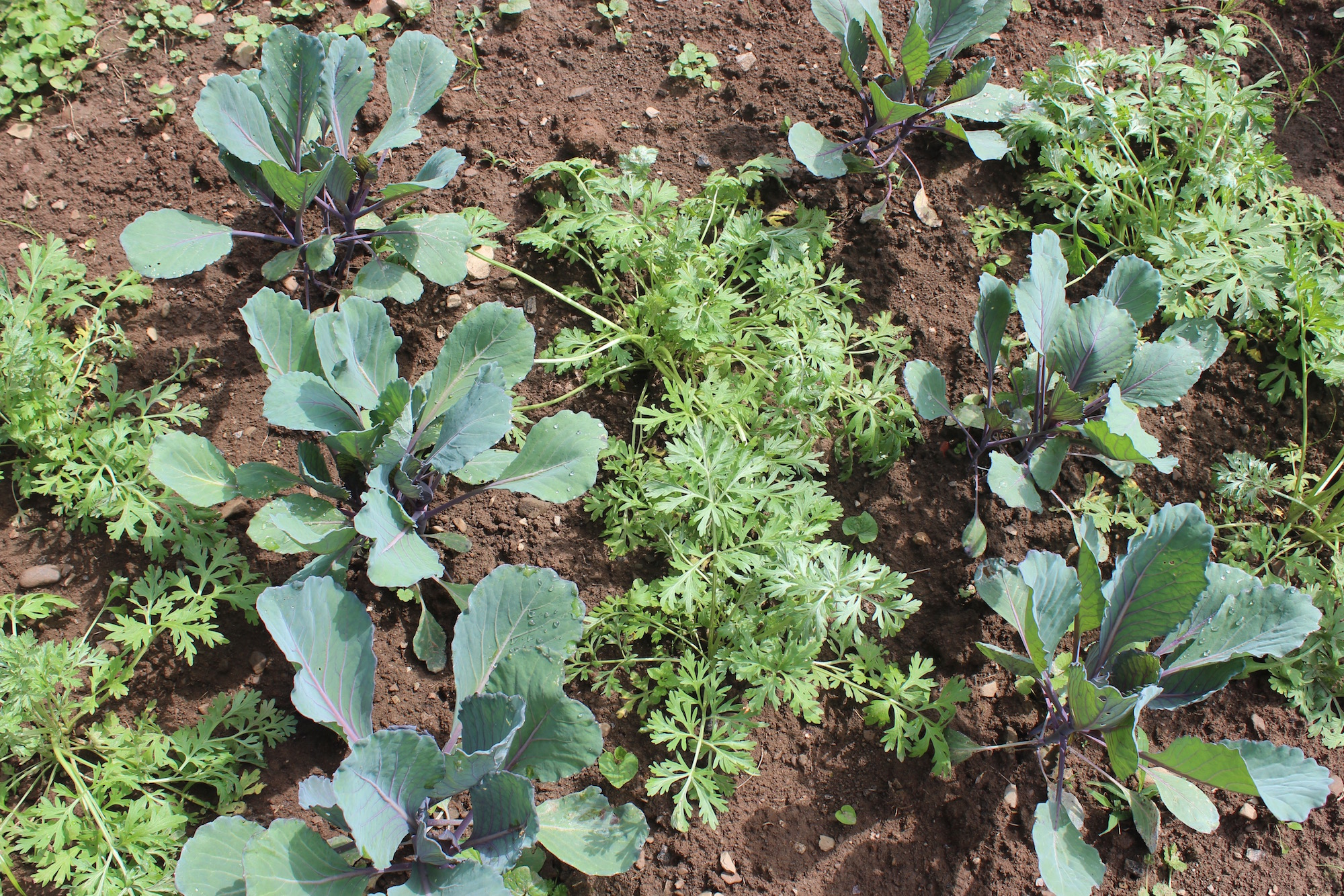 companion planting | Southern Exposure Seed Exchange