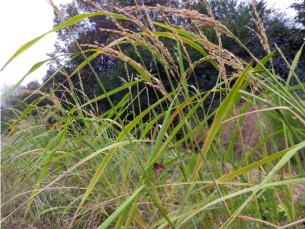 Guía para el cultivo de arroz   Intercambio de semillas de exposición al sur