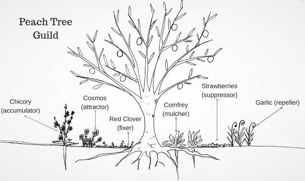 Planning a Fruit Tree Guild | Southern Exposure Seed Exchange