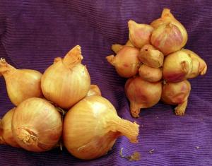 Cebollas perennes increíbles   Intercambio de semillas de exposición al sur
