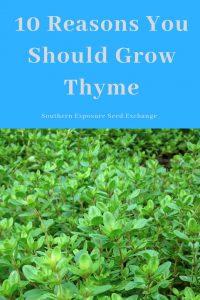 10 razones para cultivar tomillo