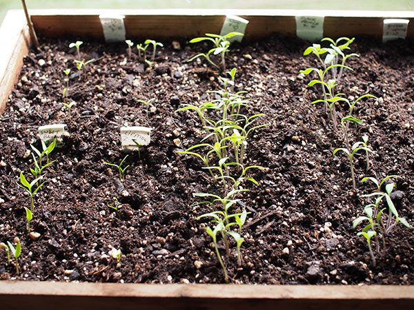"""""""Detectar"""" o """"Pinchar"""": cómo plantar plántulas pequeñas para ahorrar tiempo y dinero"""