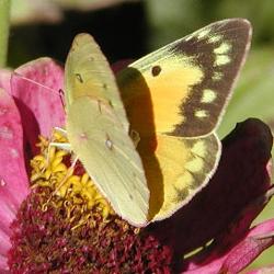5 mariposas encontradas en medio del Atlántico y que plantar para ellas