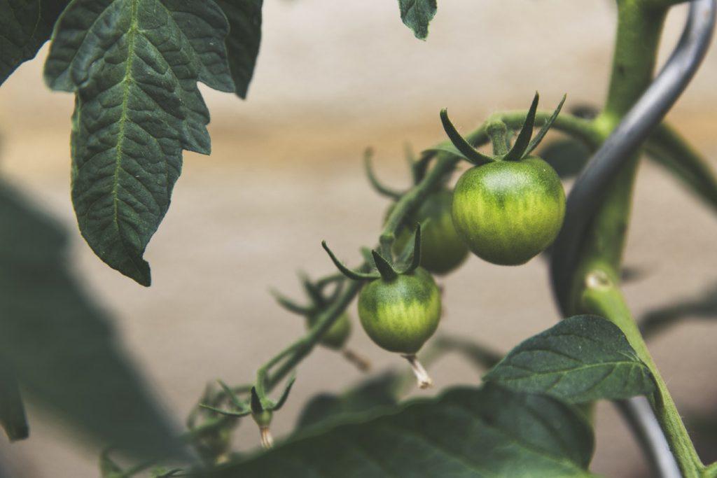 Consejos sobre el tomate: prevención de enfermedades fúngicas