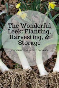 El puerro maravilloso: plantación, recolección y almacenamiento