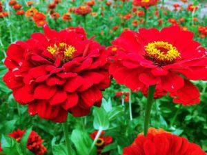 Sucesión de plantación de flores   Intercambio de semillas de exposición al sur