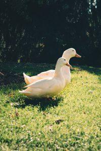 Pros y contras de la jardinería con patos