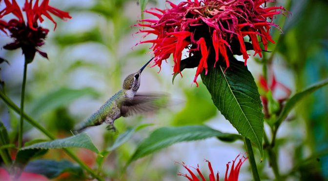 Planting for Hummingbirds
