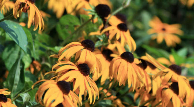 Drought Tolerant Perennials Native to The Eastern U.S.