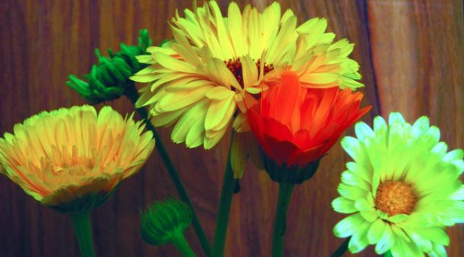 10 razones para cultivar caléndula