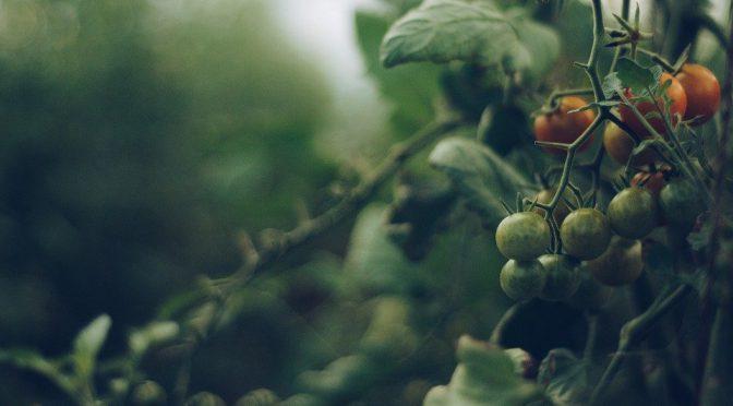 Garden Tip: Pruning Tomatoes