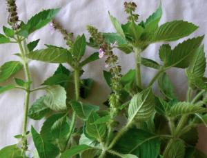 Jardín de remedios para principiantes: 10 plantas curativas