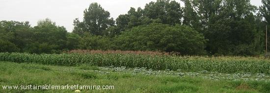 Plantar cultivos de sucesión de verano: evitar comer en exceso y la escasez