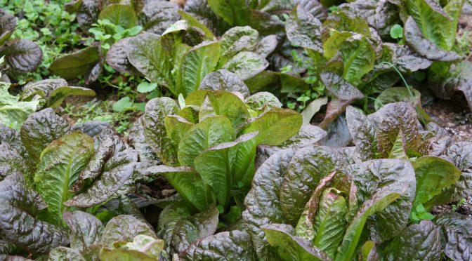 Fall Lettuce Garden