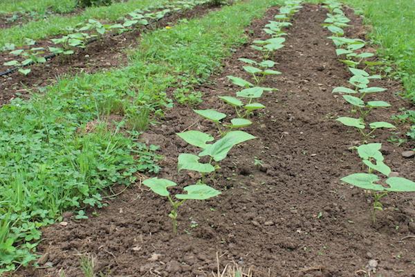 Frijoles secos: Semilla para almacenamiento