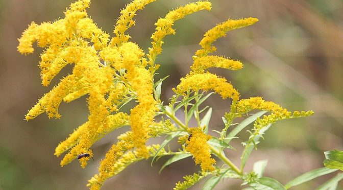 Herbal Tinctures: Goldenrod