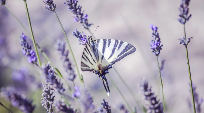 Grow Lavender From Seed