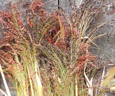 Sorghum, Rainbow Broomcorn 7 g