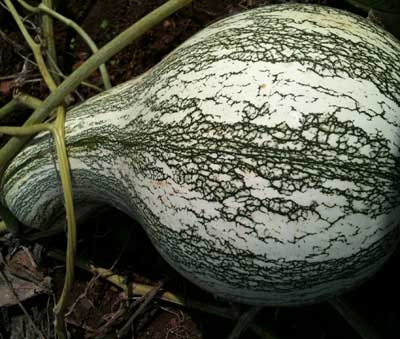 Green-Striped Cushaw (Striped Crookneck) SQUASH, WINTER 5 g