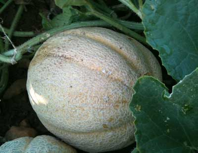 Missouri Gold Muskmelon 2 g