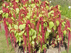 Amaranth, Love-Lies-Bleeding, 0.15 g