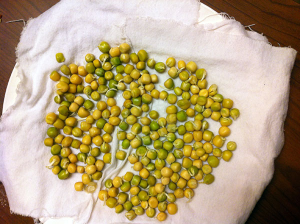 the final product, sprouted peas