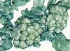 Calabrese (Italian Green Sprouting) Broccoli, 2 g